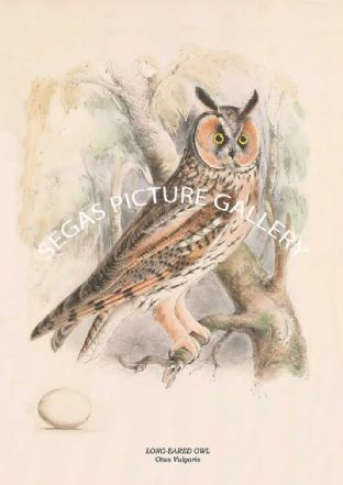 LONG-EARED OWL - Otus Vulgaris